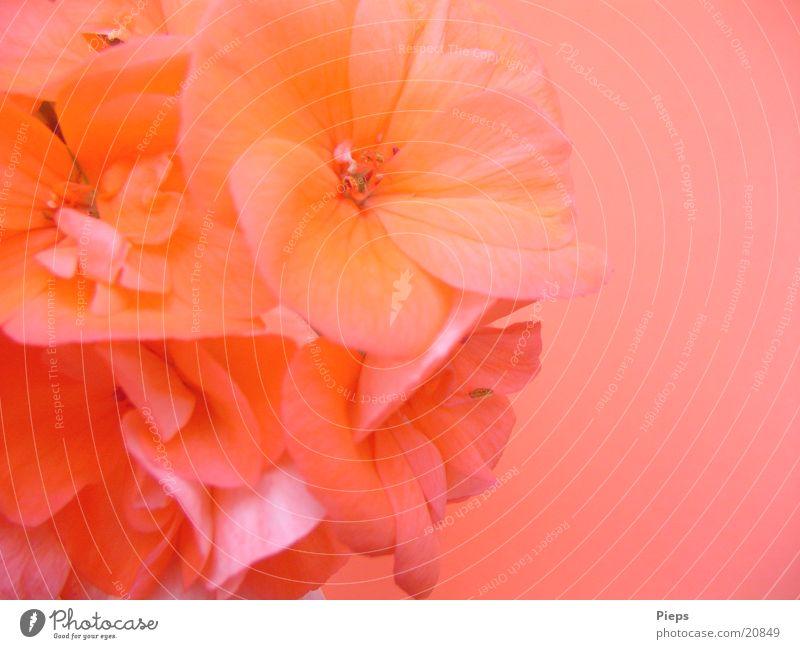 Flower Plant Summer Blossom Garden Pink Happiness Blossoming Vase Geranium