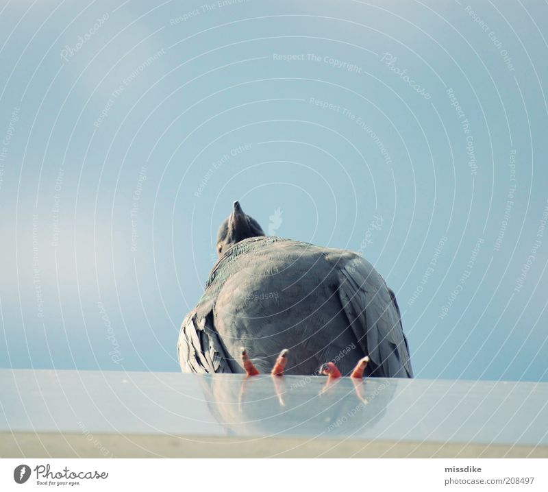 wanderlust Environment Nature Animal Air Sky Cloudless sky Summer Wild animal Bird Pigeon Wing 1 Looking Blue Gray Calm Wanderlust Loneliness Subdued colour