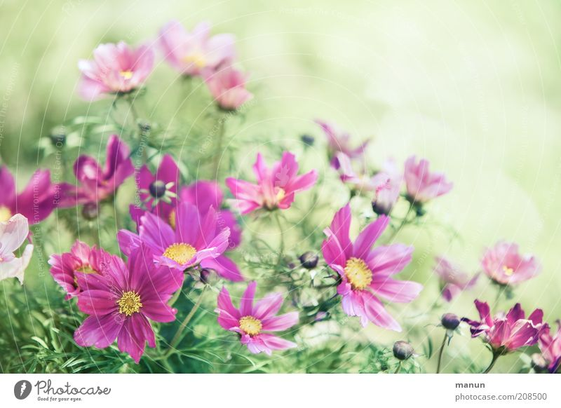 pink summer Nature Plant Summer Flower Blossom Cosmos Summerflower Blossoming Fresh Beautiful Pink Colour photo Exterior shot Copy Space right Copy Space top