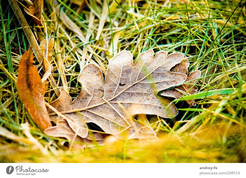 oak leaf Nature Grass Leaf Cold Oak tree Oak leaf Autumn Dew Autumn leaves Autumnal colours Autumnal weather Freeze Early fall leaf fall Brown Damp Close-up Wet