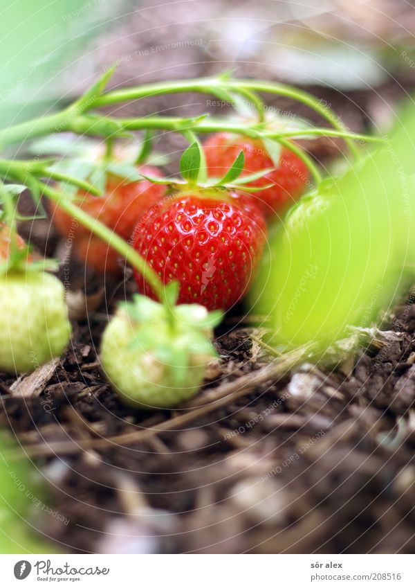 Green Beautiful Red Plant Garden Healthy Brown Fruit Natural Multiple Growth Sweet Healthy Eating Delicious Mature Organic produce