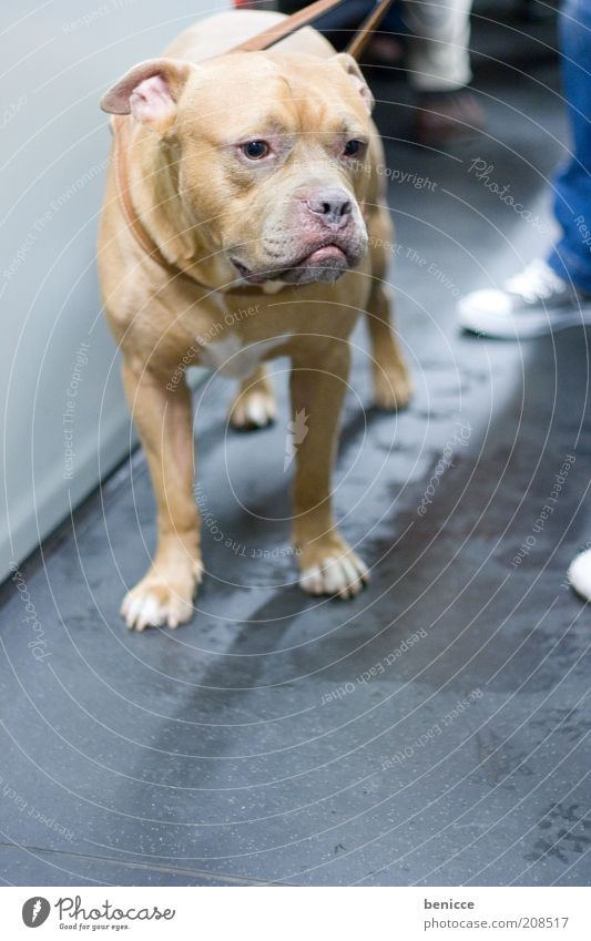 Grab it! Dog Animal Pet Dangerous bloodhound Threat Cute Dog lead Innocent dog law dog regulation attack dog Staffordshire Bull Terrier bull terrier