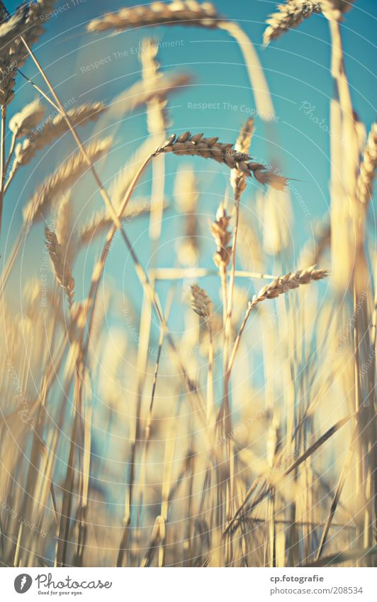 Nature Sky Sun Plant Summer Moody Field Food Grain Agriculture Ear of corn Beautiful weather Wheat Cornfield Agricultural crop Cloudless sky