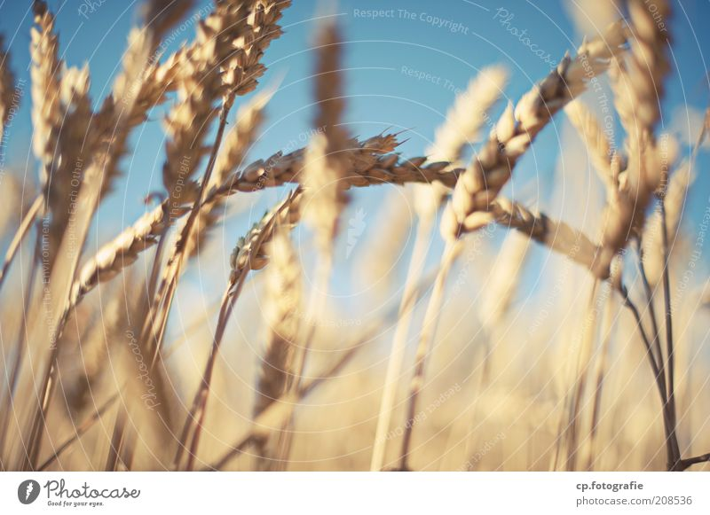 Wheat 2 Grain Agriculture Nature Plant Sky Cloudless sky Sunlight Summer Beautiful weather Agricultural crop Wheatfield Wheat ear Field Moody Exterior shot Day