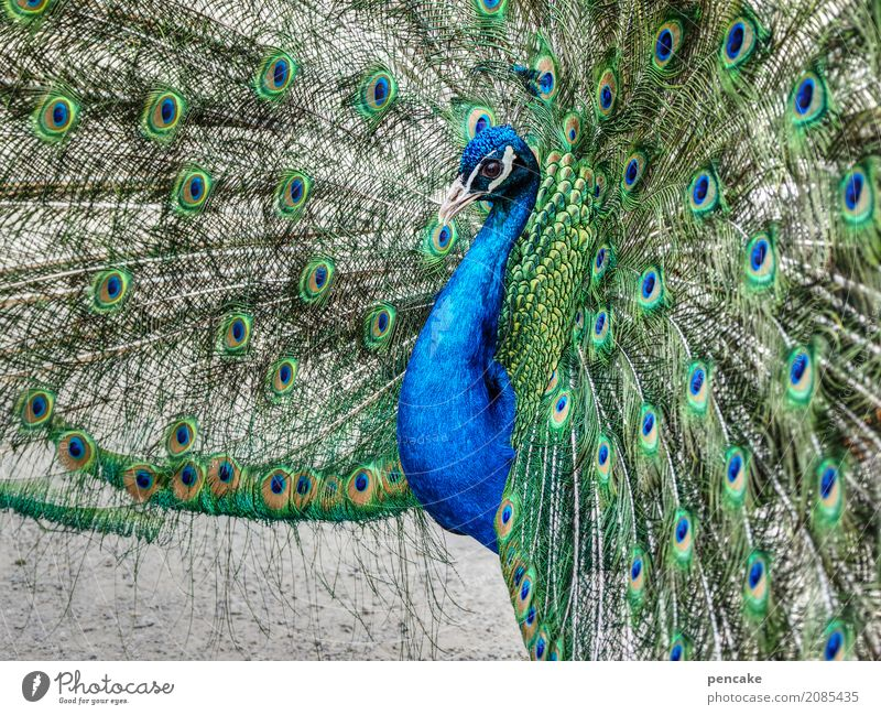 skin couture Animal Bird 1 Elegant Beautiful Peacock Eyes Peacock feather Advertise Colour photo Exterior shot Close-up Pattern Animal portrait