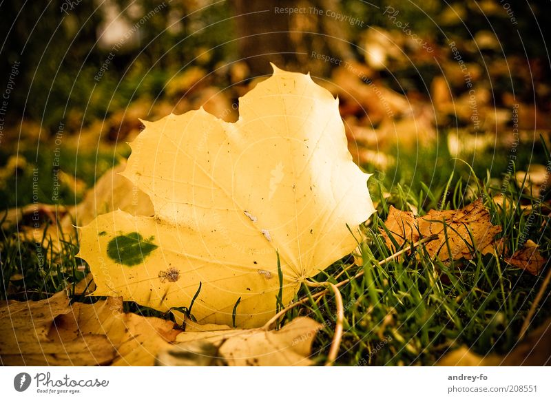 Nature Old Green Leaf Yellow Autumn Grass Moody Gold Natural Ground Seasons Autumn leaves Autumnal Maple leaf Maple tree
