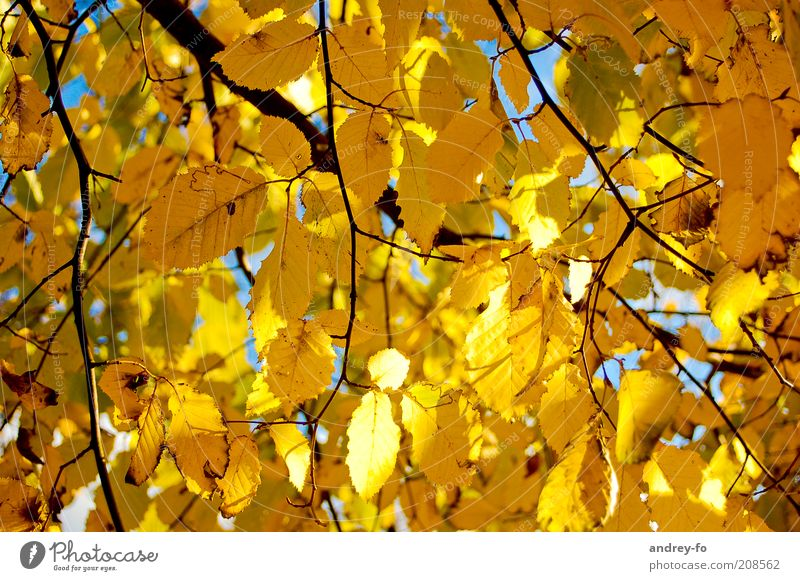 Nature Leaf Yellow Autumn Brown Gold Branch Beautiful weather Seasons Twig Autumn leaves Autumnal Autumnal colours Early fall Leaf canopy Automn wood