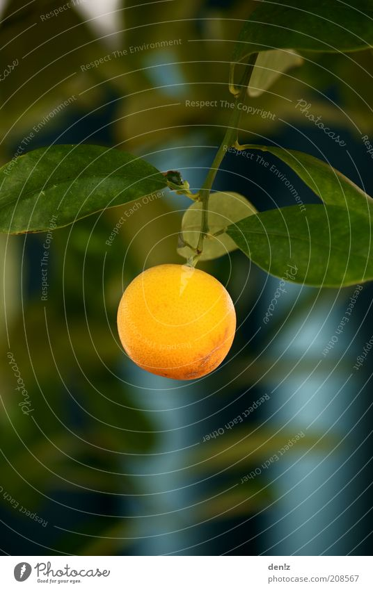 Lonely Orange Nature Summer Beautiful weather Tree Fruit trees Orange tree Hang Growth Healthy Delicious Round Warmth Colour photo Exterior shot Close-up Day