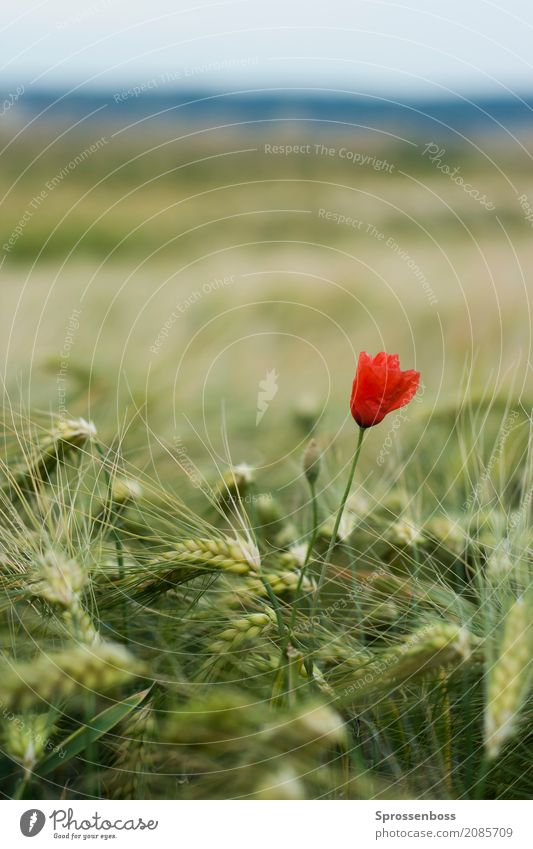 """Poppy flower in cornfield Environment Nature Landscape Plant Summer Climate change Beautiful weather Foliage plant Agricultural crop """"Cereals Rye Poppy"""" Field"""