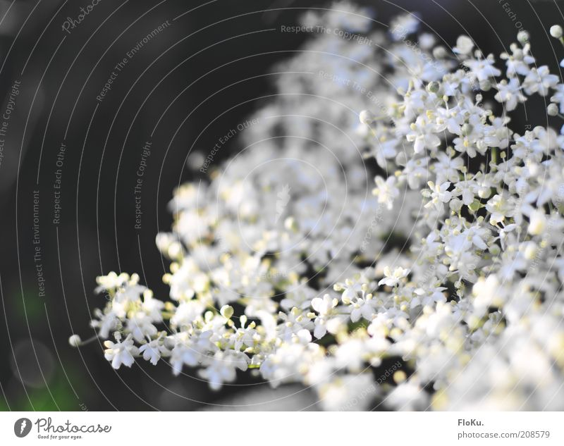 petite fragile Environment Nature Plant Flower Blossom Foliage plant Wild plant Beautiful Small White Lilac Graceful Delicate Idyll Colour photo Exterior shot