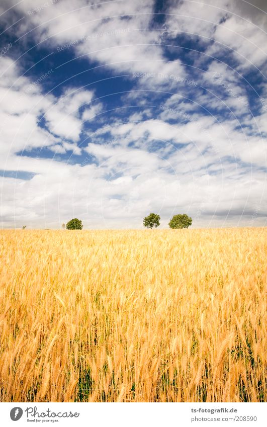 The field of the spike II Environment Nature Landscape Plant Sky Clouds Summer Beautiful weather Tree Agricultural crop Grain Grain field Ear of corn Field