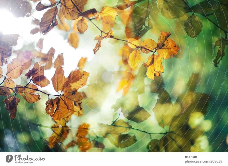 in the beech grove Environment Nature Autumn Leaf Autumn leaves Autumnal Autumnal colours Autumnal weather Beech tree Beech leaf Twigs and branches Exceptional