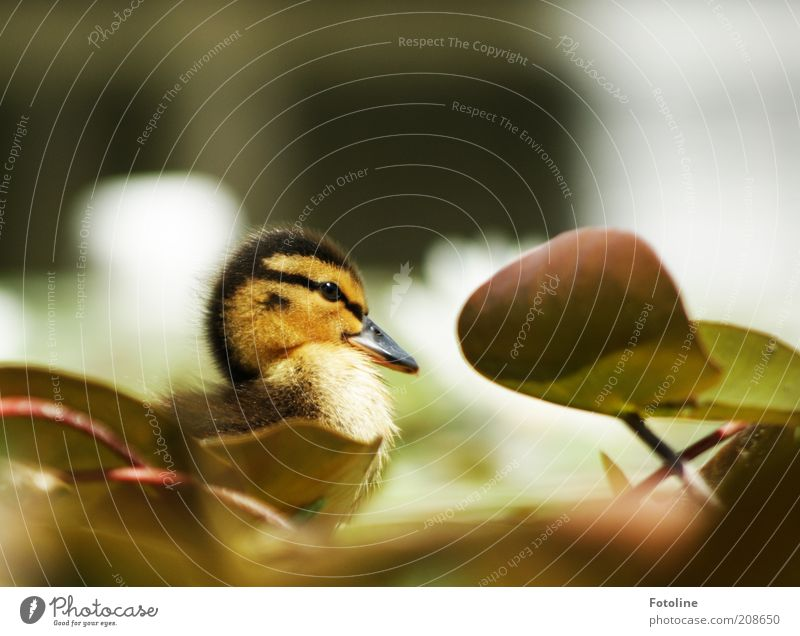 snatch Environment Nature Plant Animal Spring Warmth Leaf Lakeside Pond Wild animal Bird Animal face Baby animal Bright Soft Water lily leaf Chick Duckling Beak