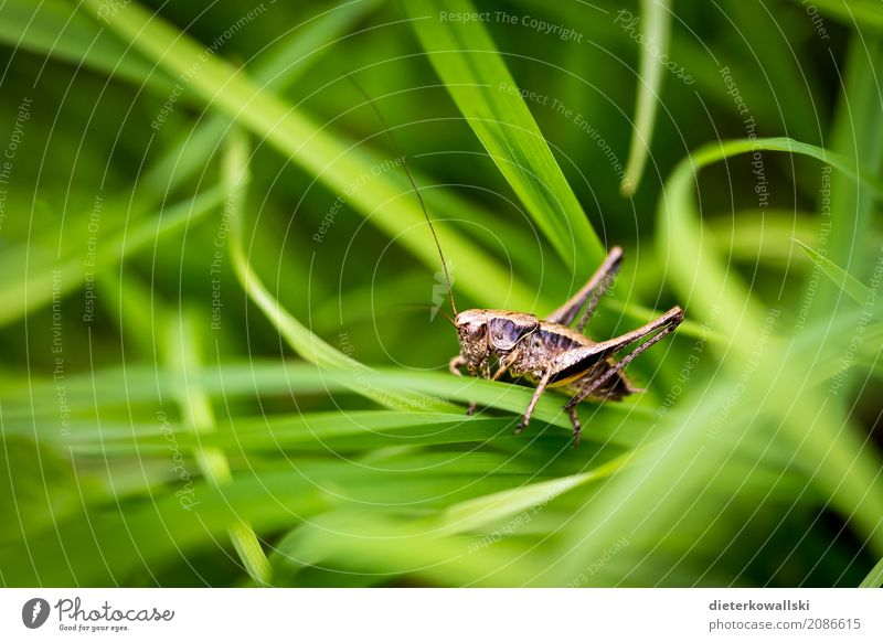 Orthoptera II Food Environment Nature Landscape Plant Animal Garden Park Meadow Field Farm animal Wild animal Locust Hunting Beautiful Grass Pests