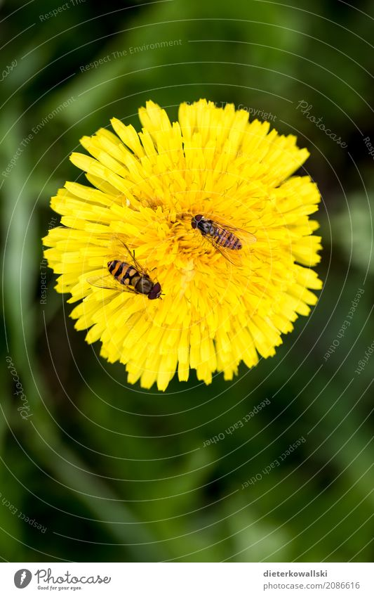 Dandelion with insects Environment Nature Landscape Plant Animal Spring Summer Flower Grass Garden Park Meadow Field Farm animal Wild animal Fly Bee Wing Flying