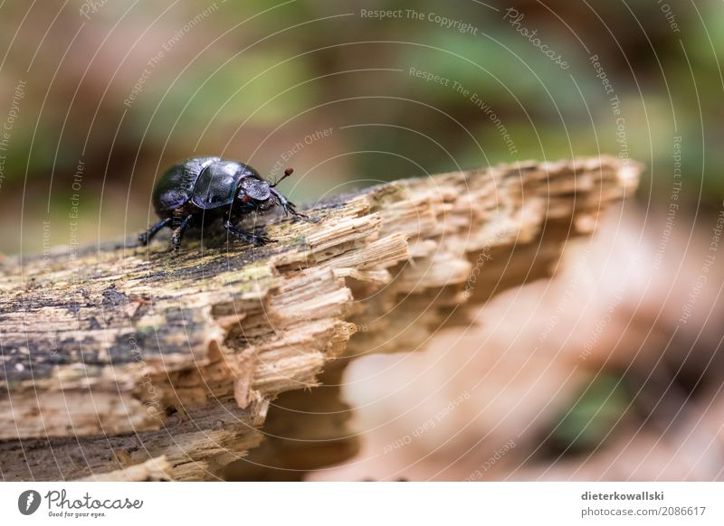 bug Environment Nature Landscape Animal Earth Forest Wild animal Beetle Hideous Natural Beautiful dung beetle Shell Woodground Scavenger Refuse disposal Insect