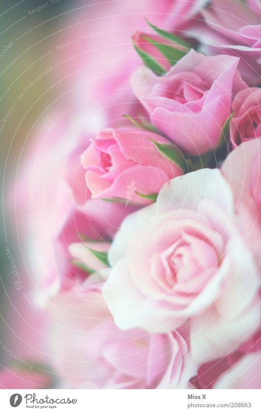 Plant Flower Blossom Pink Fresh Multiple Rose Soft Kitsch Delicate Symbols and metaphors Blossoming Fragrance Bouquet Blossom leave Rose blossom