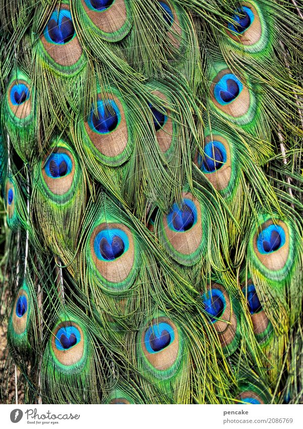 look Animal Bird Famousness Success Fantastic Beautiful Peacock Peacock feather Colour photo Exterior shot Close-up Detail Pattern