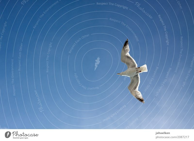 holiday pilots Sky Sky only Cloudless sky Beautiful weather Coast Ocean Navigation Harbour Animal Wild animal Bird Seagull Silvery gull 1 Flying Tall Slimy Blue