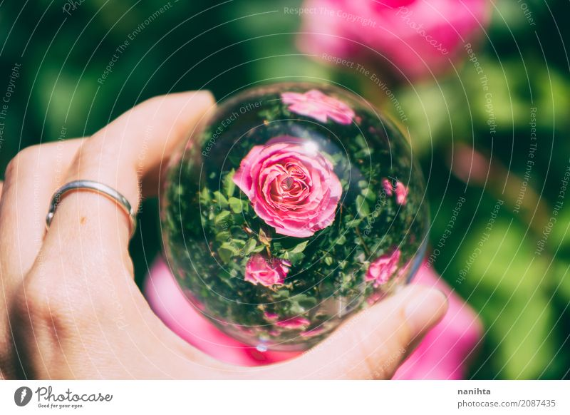 Pink roses view through a crystal ball Nature Plant Colour Beautiful Green Hand Environment Life Art Exceptional Design Bright Glass Creativity Authentic