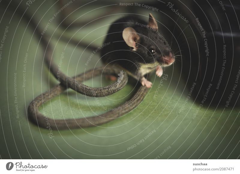 cable mouse Mouse Animal Pet Mammal Ear Hand Cable Curiosity Connection Office Animalistic Funny Old phone Caution Diminutive Small Sweet Cute Fear Disgust