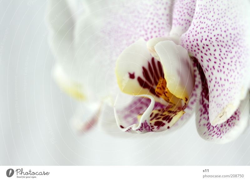 beauty Plant Summer Flower Blossom Exotic Orchid Esthetic Fragrance Fresh Beautiful Modern Natural Yellow Violet Pink White Emotions Happy phalaenopsis Pistil