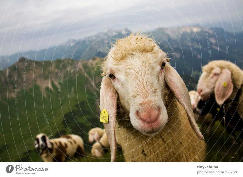Nature Summer Animal Mountain Landscape Hiking Environment Trip Cool (slang) Animal face Alps Natural Curiosity Sheep Bavaria Germany