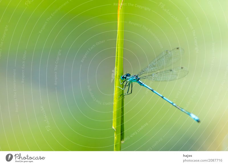 Horseshoe Dragonfly, Coenagrion puella Life Environment Nature Animal Water Pond Wild animal Sit Blue Environmental protection Common Blue Damselfly  Insect