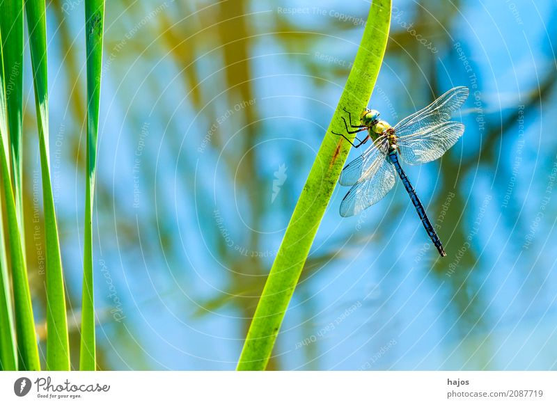 Great Royal Dragonfly, Anax imperator, male Life Summer Environment Nature Animal Water Pond Wild animal Sit Large Emperor dragonfly masculine Big dragonfly