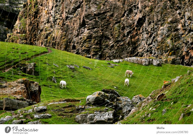 Nature Animal Meadow Mountain Stone Landscape Environment Rock Idyll Sheep To feed Farm animal Light Gravel
