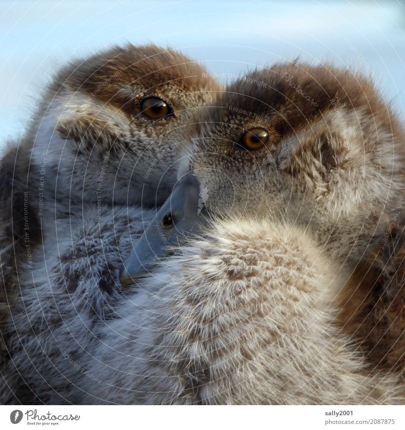 two eyes Animal Animal face Goose Nile Goose 2 Baby animal Observe Looking Brash Curiosity Brown Soft Eyes Beak Brothers and sisters Chick Together Cute