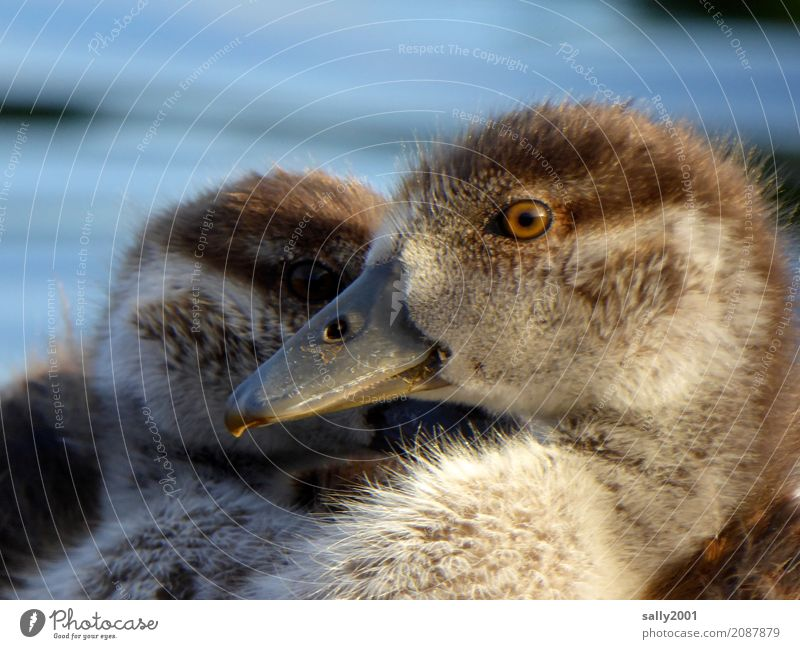 look me in the eye... Animal Goose Nile Goose 2 Baby animal Observe Looking Brash Curiosity Cute Brown Soft Eyes Beak Together Attachment Colour photo