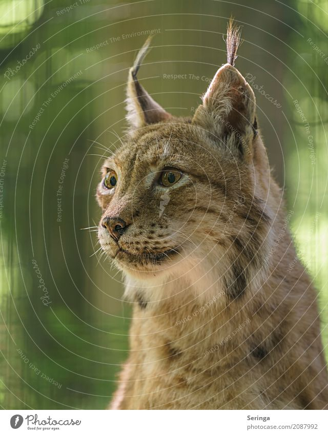 perspicacity Animal Wild animal Cat Animal face Pelt Zoo 1 Observe Eyes Ear Land-based carnivore Lynx Colour photo Multicoloured Exterior shot Detail Deserted