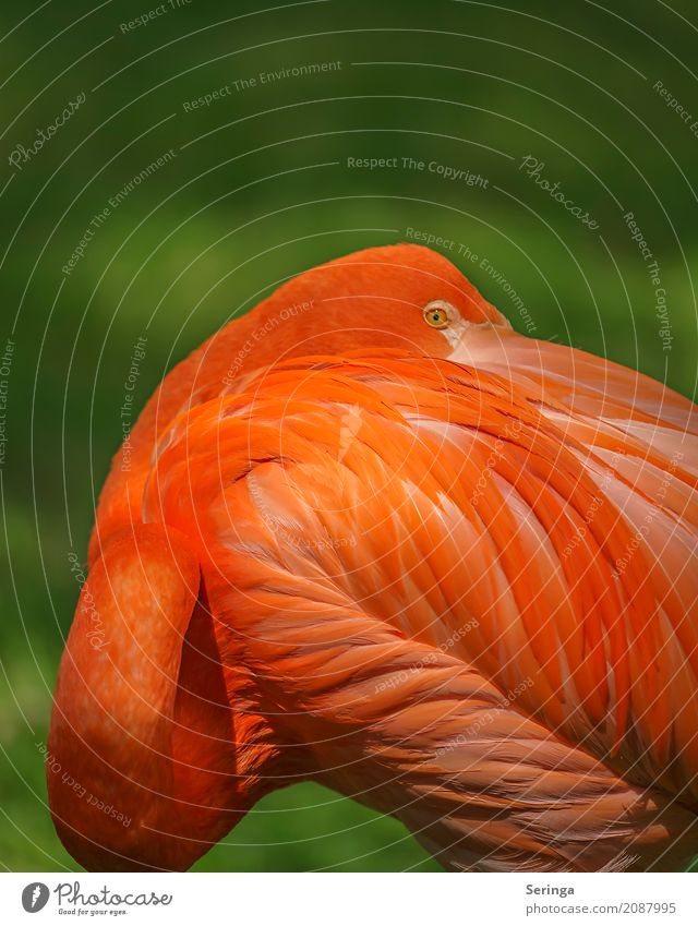 shoulder look Animal Wild animal Bird Flamingo Animal face Wing 1 Looking Orange Orange-red Illuminate Bright Colours Eyes Metal coil Colour photo Multicoloured