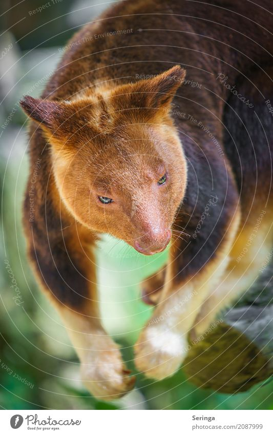 Not stuffed :) , tree kangaroo in the zoo Beautiful weather Tree Animal Wild animal Animal face Pelt Claw Paw Zoo 1 Hang Tree Kangaroo Brown Colour photo