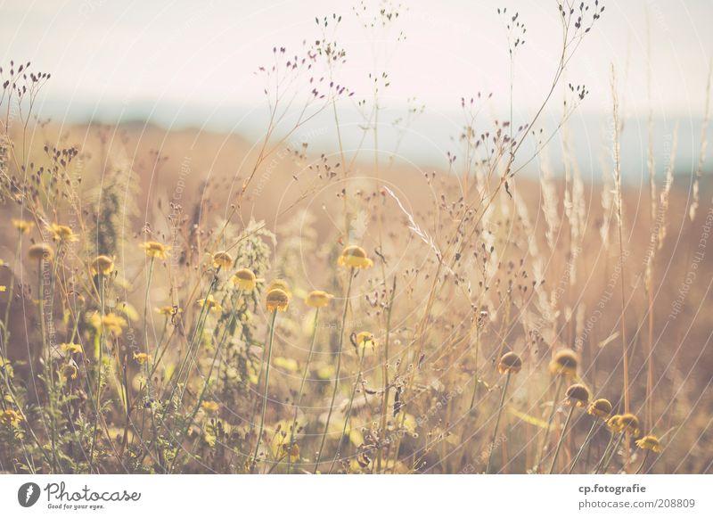 Nature Sun Flower Plant Summer Loneliness Meadow Blossom Grass Horizon Trip Observe Joie de vivre (Vitality) Longing Natural To enjoy