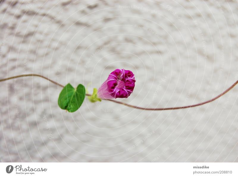 GARLAND Environment Nature Plant Spring Summer Climate Climate change Warmth Drought Flower Leaf Blossom Tendril Morning glory Sweet pea Creeper Blossoming