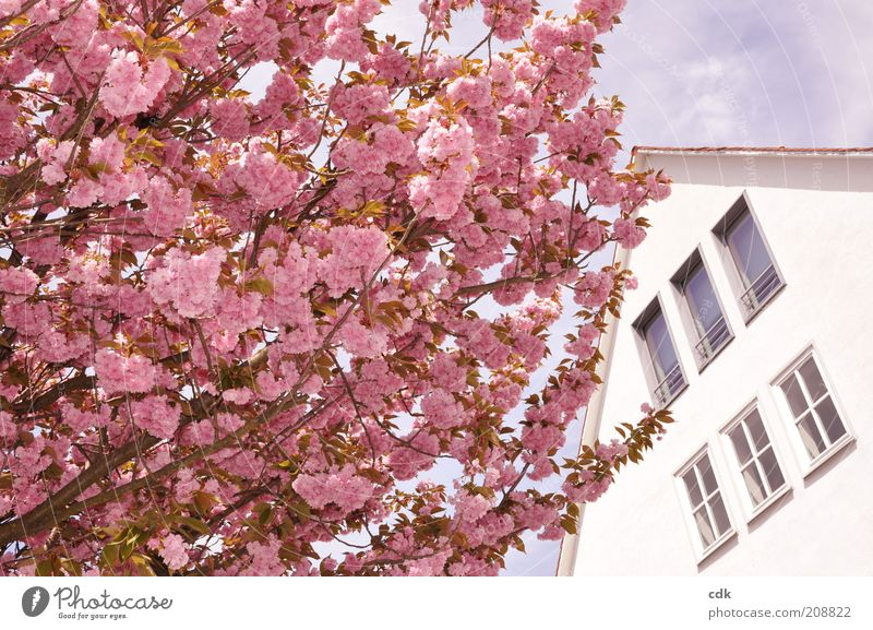 pink Environment Nature Plant Sky Spring Beautiful weather Tree Blossom Deserted House (Residential Structure) Manmade structures Architecture Wall (barrier)