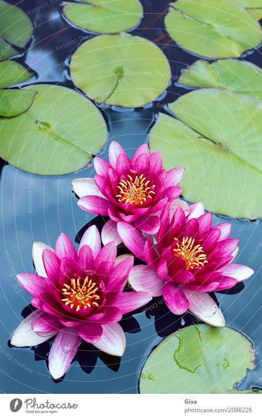 Meditating pond rose group in pink Nature Plant Leaf water lily Garden Pond Water Pink Romance Honest Authentic Wisdom Purity Hope Dream Uniqueness Relaxation