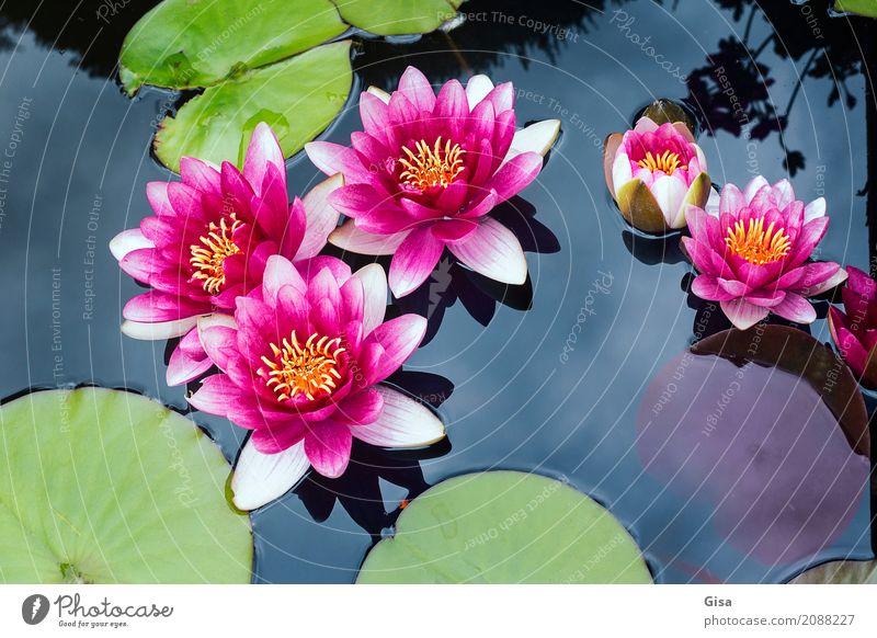 Nature Plant Summer Beautiful Water Leaf Environment Garden Pink Hope Wellness Belief Euphoria Pond Willpower Senses