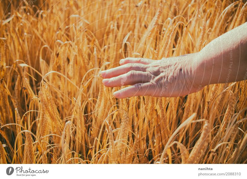 Old woman hand touching wheat Grain Nutrition Vegetarian diet Lifestyle Healthy Care of the elderly Relaxation Calm Agriculture Forestry Farm Farmer Feminine