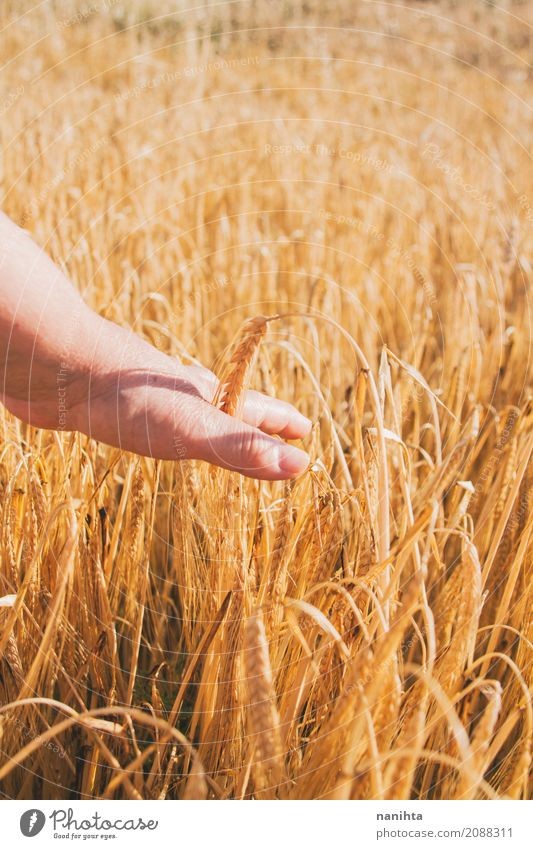 Hand touching wheat Human being Woman Nature Summer Sun Life Yellow Autumn Senior citizen Healthy Natural Feminine Food Field Fresh