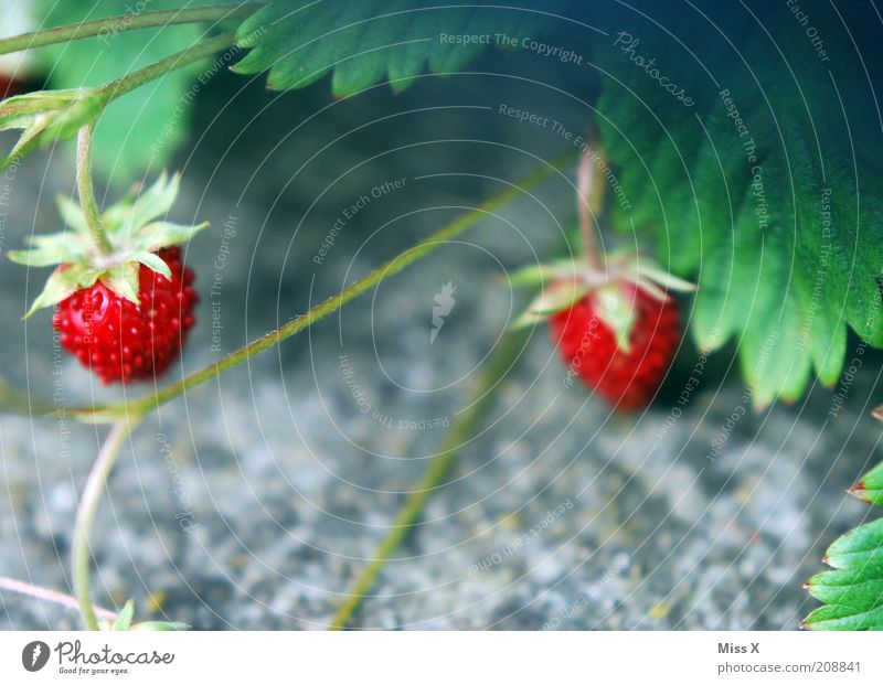 Plant Nutrition Forest Garden Small Food Fruit Sweet Growth Delicious Flower Berries Strawberry Vegetarian diet Agricultural crop Wild plant
