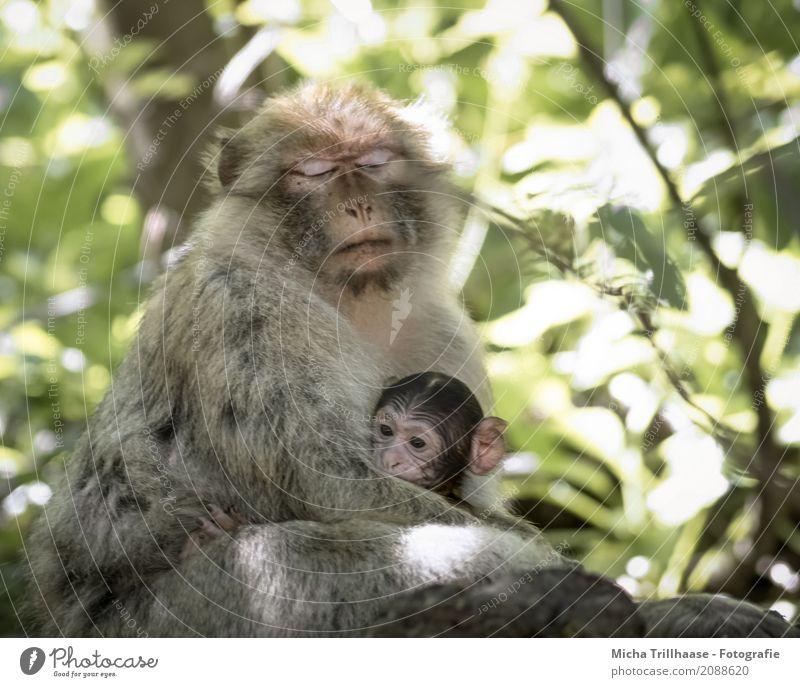 Proximity and security Nature Animal Sun Sunlight Beautiful weather Plant Tree Leaf Wild animal Animal face Pelt Paw Monkeys Barbary ape Young monkey Eyes 2