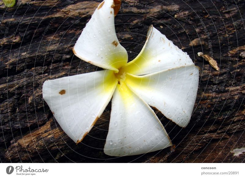 What kind of flower is this? Flower Blossom White Yellow Wood Tree Rubber