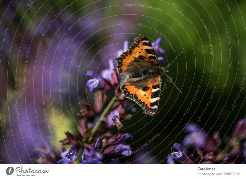 Little Fox Nature Plant Animal Summer Beautiful weather Blossom Agricultural crop Sage Sage blossom Garden Butterfly Small tortoiseshell 1 Blossoming Flying