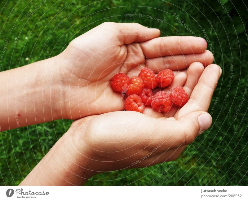 All little Gordons. Food Fruit Raspberry Organic produce Vegetarian diet Diet Life Hand Fingers Nature Summer Agricultural crop To hold on Juicy Sweet Red Pick