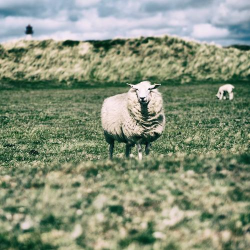 Nature Vacation & Travel Animal Tourism Wait Observe Pasture Environmental protection Lighthouse Sheep Nordic Herd Sylt Schleswig-Holstein North Frisland List
