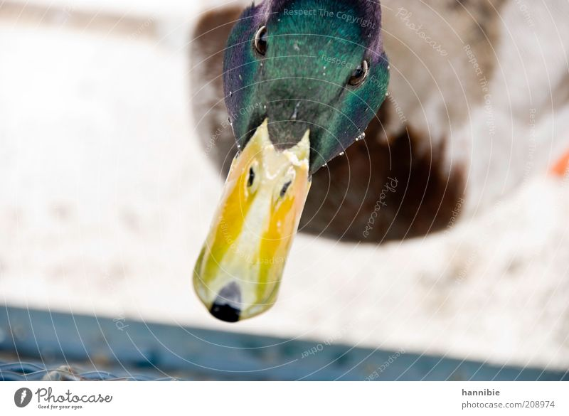 Green Animal Colour Eyes Yellow Bird Drops of water Curiosity Animal face Duck Interest Beak Mistrust Drake Duck birds Water