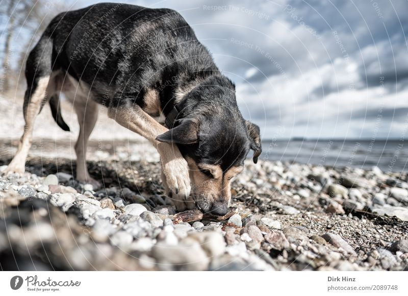 little stick found Leisure and hobbies Nature Landscape Water Clouds Coast Beach Baltic Sea Pet Dog 1 Animal Maritime Natural Curiosity Horizon Freedom Search